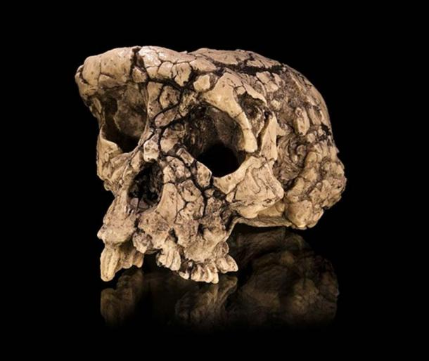 Cast of the Sahelanthropus tchadensis holotype cranium TM 266-01-060-1, dubbed Toumaï, in facio-lateral view. Specimen of Anthropology Molecular and Imaging Synthesis of Toulouse.