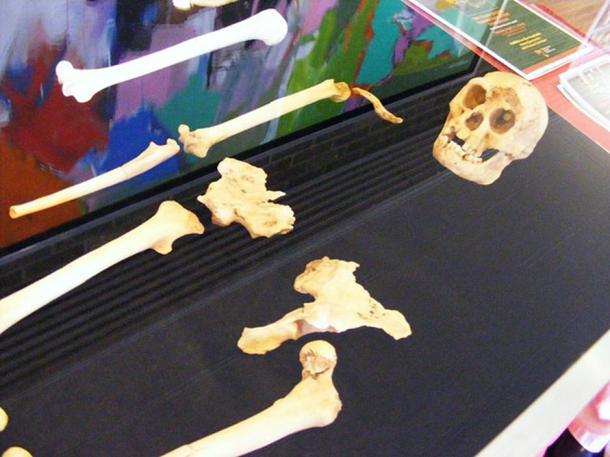 Cast of the entire LB1 (Homo floresiensis) specimen.