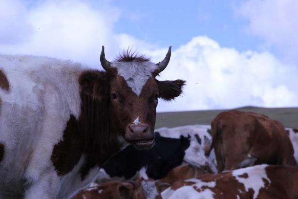 Cattle in Mongolia. (CC0)