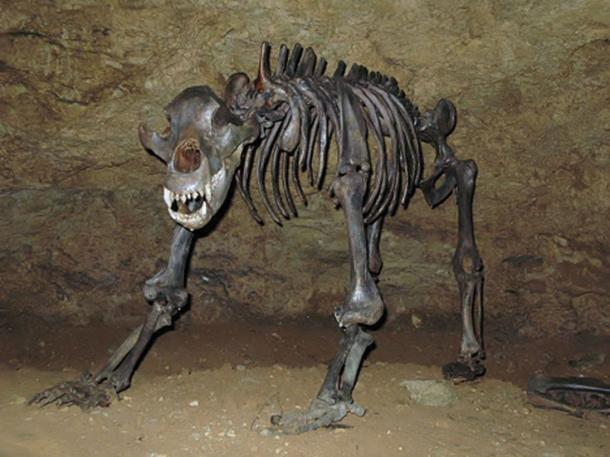 Cave bear fossils.