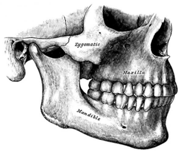 Changes in human lifestyle also altered jaw anatomy. (Nicolas Perrault III / Public Domain)