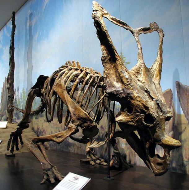 Chasmosaurus belli ROM 843, Royal Tyrrell Museum of Paleontology. Late Cretaceous 75-74.5 million years ago. Found at Dinosaur Provincial Park, Alberta, and prepared at the Royal Tyrrell Museum of Paleontology, Drumheller, Alberta.