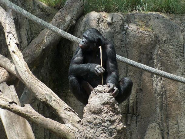 Chimp using stick as a tool to eat ants. (Mike R / CC BY-SA 3.0)