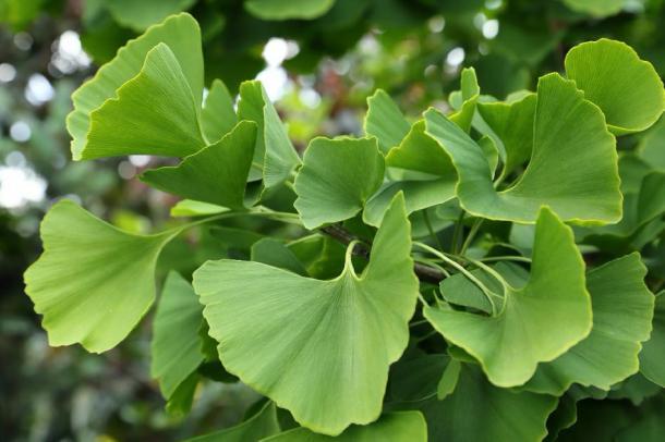 Close up of ginkgo tree leaves. (Profotokris / Adobe stock)