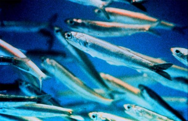 Close-up of modern anchovies, which are much smaller than the prehistoric 'giant anchovies'. (Public domain)