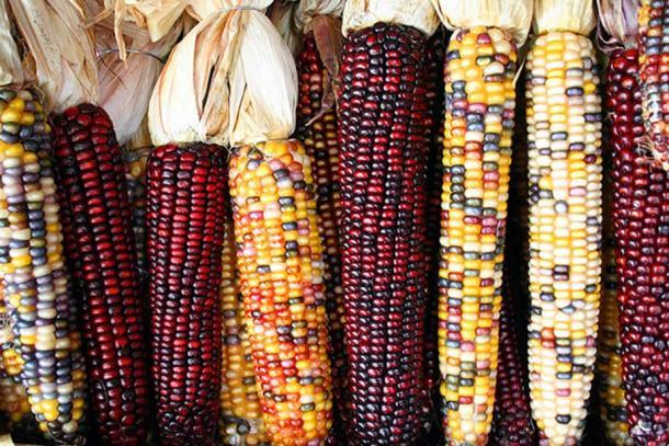 Cobs of corn. (Sam Fentress/CC BY SA 2.0)