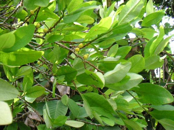 Coca Leaf (Images via Liza Knox.)
