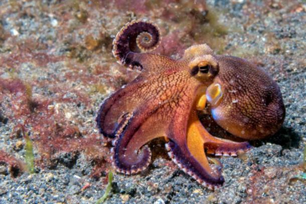 Coconut octopus underwater macro portrait on sand. (Andrea Izzotti /Adobe Stock)