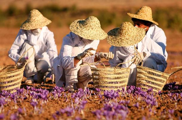 Collecting saffron at a farm in Torbat heydariyeh, Razavi Khorasan province, Iran