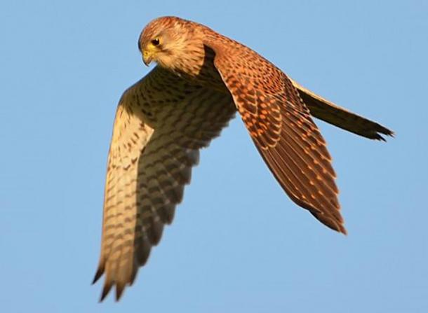 Common kestrel, photographed in Belgium