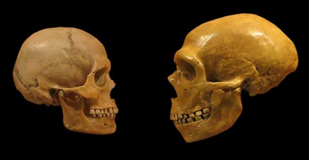 Comparison of Modern Human, Homo sapiens (left) and Neanderthal skull from the Cleveland Museum of Natural History.