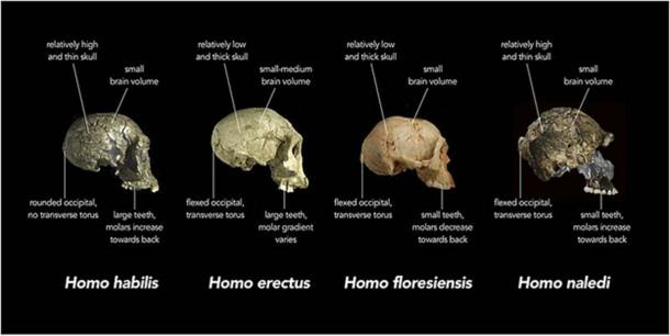 Comparison of skull features of Homo erectus, H. floresiensis and other early human species