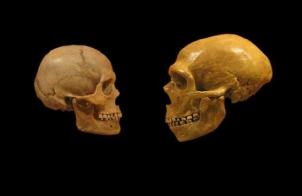 Comparison of Modern Human and Neanderthal skulls from the Cleveland Museum of Natural History. (DrMikeBaxter / CC BY SA 2.0 )