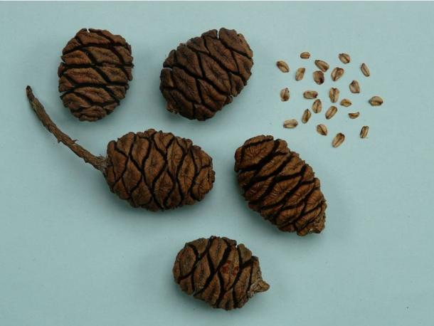Cones and seed of the Sequoiadendron giganteum