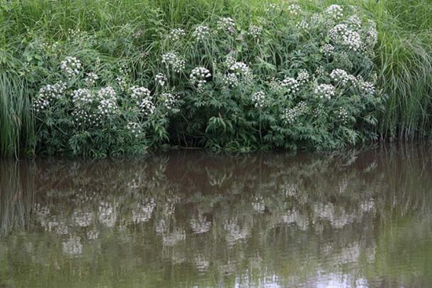 Cowbane or Northern Water Hemlock (Cicuta virosa) is growing by Keravanjoki river in Kerava, Finland.