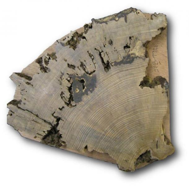 Cross-section of a sample taken from the Pueblo Bonito plaza tree. (Christopher Guiterman / University of Arizona)