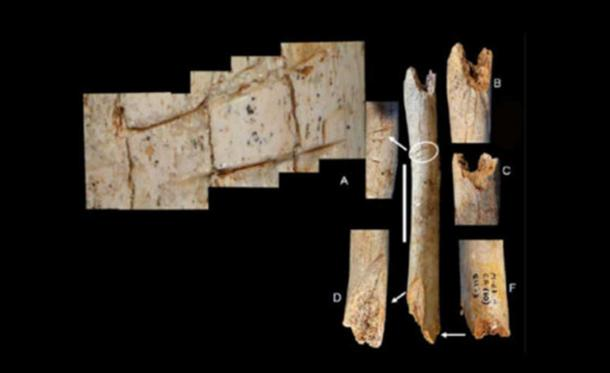 Cut marks observed on the femur of the Neanderthal child.