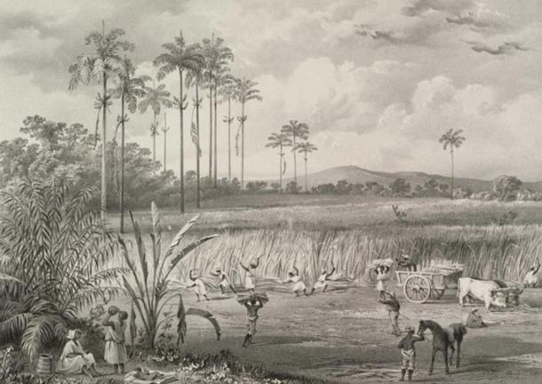 Cutting Sugar Cane in Trinidad, 1836, lithograph