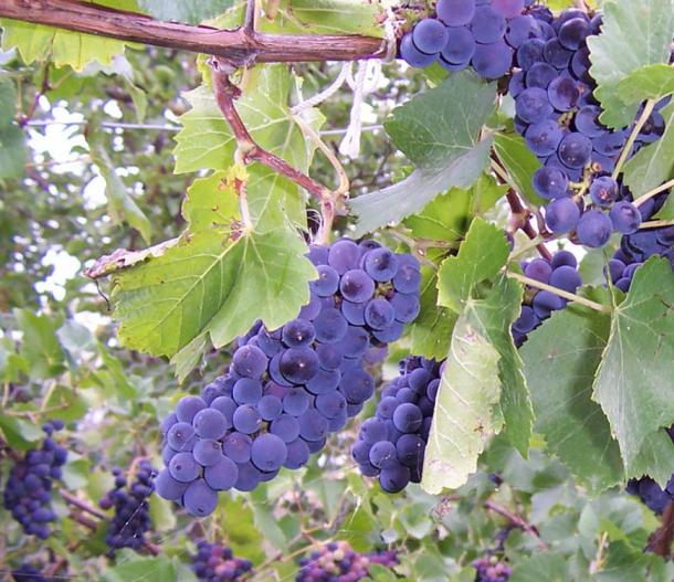 Dark grapes on the vine