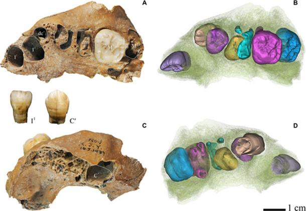 Dental remains of the Xujiayao juvenile. Original Xujiayao fossil (A and C) and μCT reconstruction of all the teeth (B and D). M1 and a part of the root of the deciduous dm2 are visible in the superior view photo, as is the M2 crown. I1 and C were removed from their sockets and appear in the picture as isolated teeth. Note that P3, P4, and M2 were still unerupted. (A and B) Inferior view. (C and D) Superior view. (A and C) Photographed by S.X. from Institute of Vertebrate Paleontology and Paleoanthropology, Chinese Academy of Sciences. (Debbie Guatelli-Steinberg / OSU)