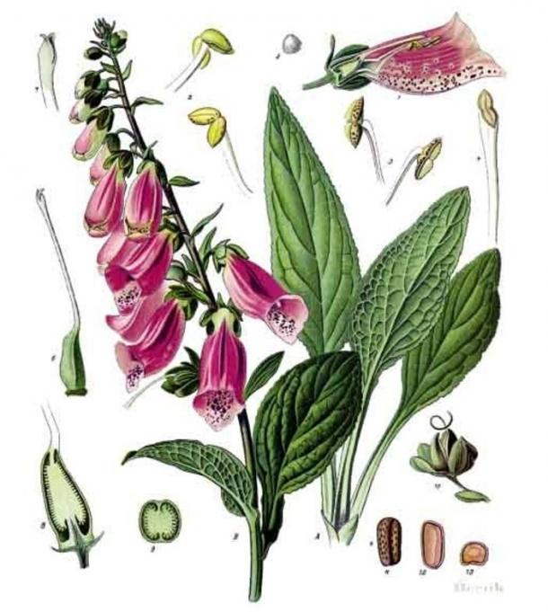 Illustration of Digitalis purpurea – a dangerous and toxic plant called Foxglove.