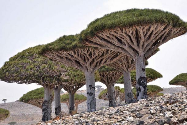 Dragon's Blood Tree, Socotra Island