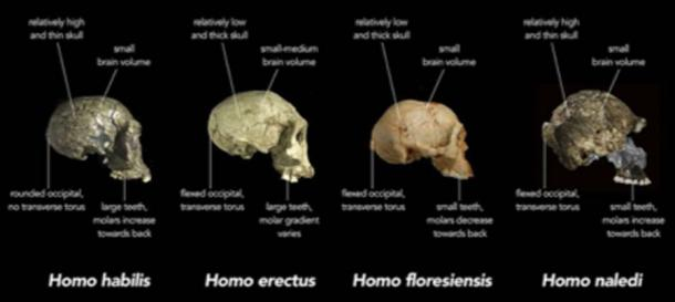 Early human species from the Stone Age. (Animalparty / CC BY-SA 4.0)