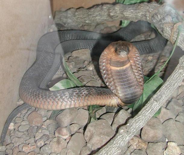 An Egyptian cobra
