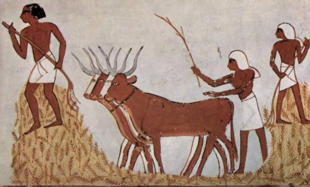Egyptians with domesticated cattle and corn circa 1422-1411 BC.