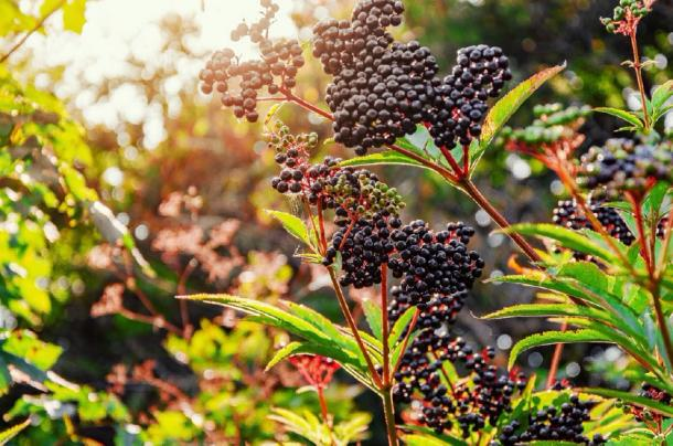 The elderberry on the elder tree during Autumn. (romankrykh / Adobe stock)