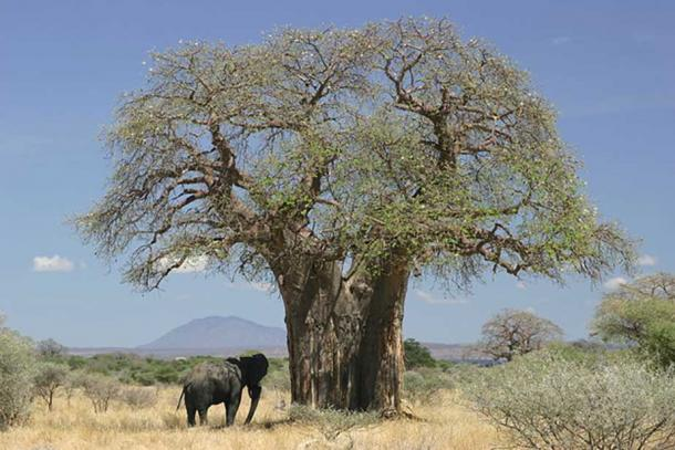 An Elephant feeding from a baobab, Tanzania.