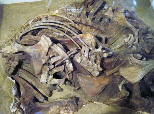 Equus simplicidens Cope, 1892 - fossil horse bones (real) from the Pliocene of Idaho, USA