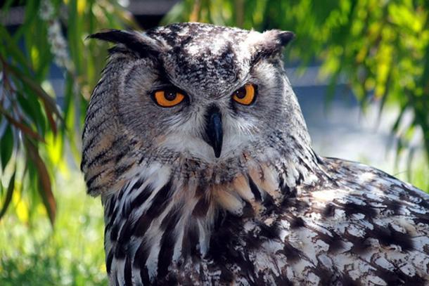 Eurasian Eagle Owl (Bubo bubo) in San Francisco Zoo