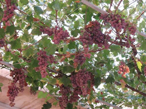 Eurasian grapevine Vitis vinifera