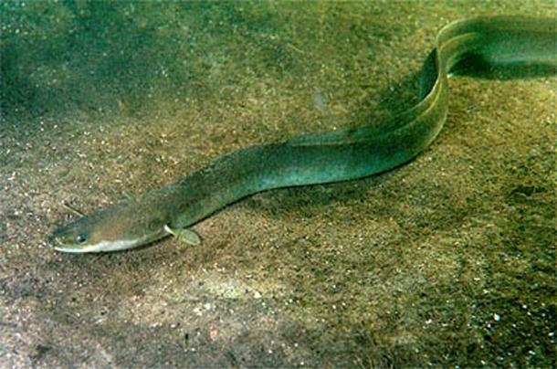 What beast did John fish out of the river? Image of European eel (Anguilla anguilla)