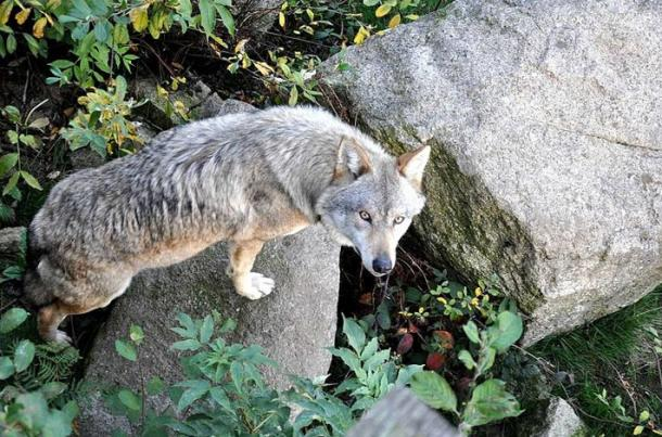 European grey wolf in the Animal Park of the Monts de Gueret The Wolves of Chabrières.