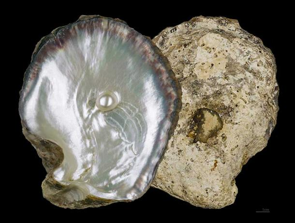 Example of a pearl oyster shell of the type that can be found in Fiji and Tahiti