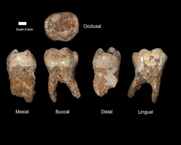 Example of ancient human teeth from the Qesem Cave, Israel.