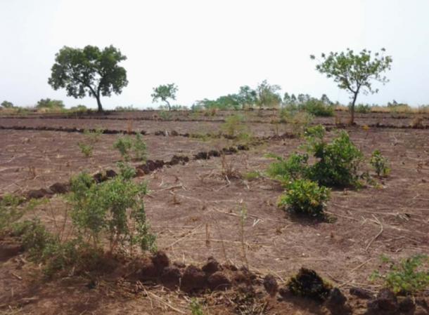 Example of the cordons pierreux farming technique.