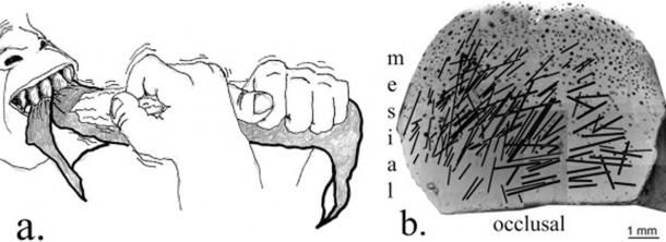 "a. Experimental evidence suggests labial scratches were produced when material was processed with one hand pulling the object and the other cutting it with a stone tool. Here is a right-hander pulling with the left and cutting with the right. b. The dense concentrations of striations show that the tooth surface was repeatedly modified by a stone tool and the majority of striations are right oblique. The black dot ""bubbles"" are artifacts of the casting and sputter-coating."
