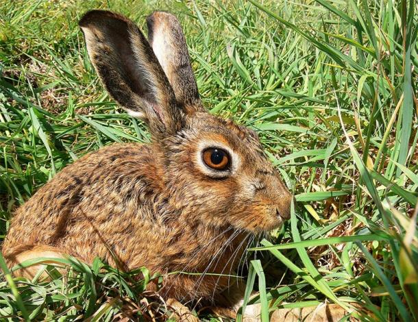 Experts examining bones from a prehistoric farming community have revealed the Neolithic Chinese and hares had a special relationship, leading to behavioral changes in the animals. Pictured: a brown hare in the grass. (Antiquity Publications Ltd)