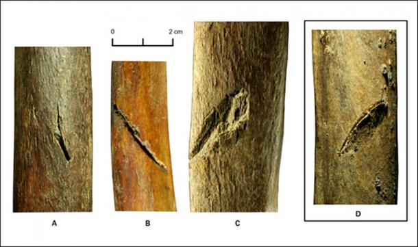 Fifth left rib with hunting lesion (up). A butchery mark on the fifth rib (D) was compared with the hunting lesions collected by Vladimir Pitulko at Yana Paleolitic Site (A, B, C).