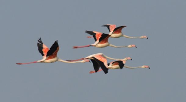 Five adult flamingos in flight. Their tendency of these and other gregarious birds to aggregate in compact flocks, sometimes formed by thousands of individuals, have often reminded the ancients of the armies deployed in battle. Author Supplied / Alessandro Andreotti.