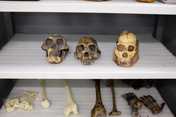 Fossil casts of Australopithecus afarensis (left), Homo habilis (center), and Australopithecus sediba (right). (Matt Wood, UChicago)