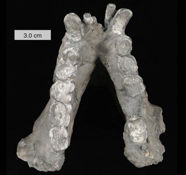 Fossil jaw of Gigantopithecus blacki, an extinct primate.