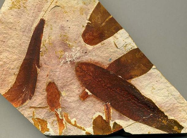 Fossil of Glossopteris leaves.