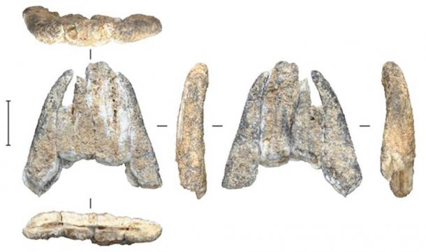 Fossil tooth fragment from an extinct elephant, excavated from Leang Burung 2. M W Moore, Author provided
