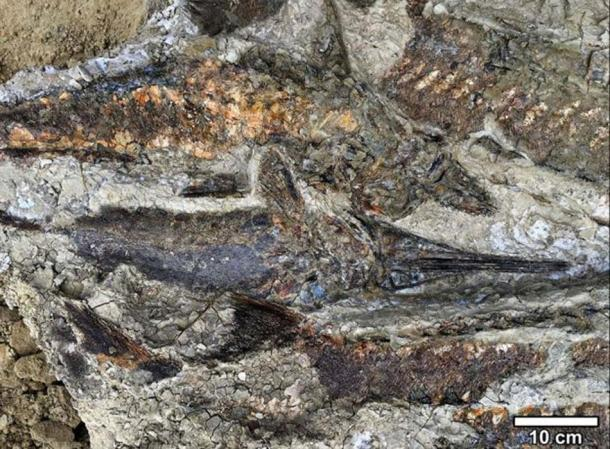 Fossilized fish piled one atop another as they were flung ashore by the seiche, at the 66-million-year-old meteor impact fossil site. (Robert DePalma / The University of Kansas)