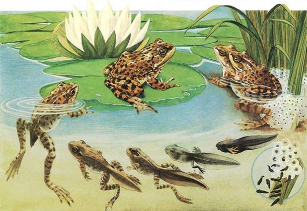 Frog life cycle. (Orin Zebest/CC BY 2.0) These changes had some influence on ancient cultures perceiving frogs as symbolic for rebirth and as the keepers of transmutation secrets.