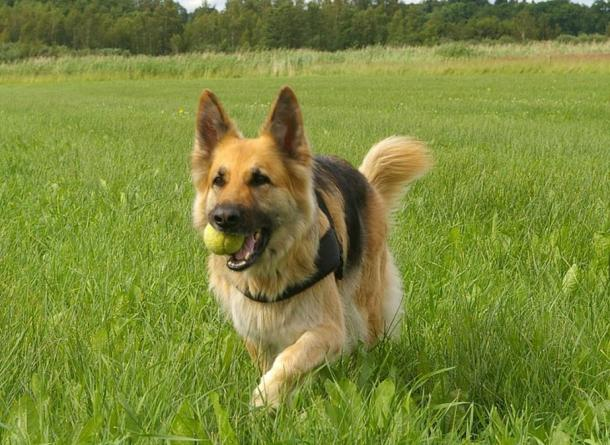 The German Shepherd is a relatively new breed of dog, that is often prized for its strength, intelligence, trainability, and obedience.